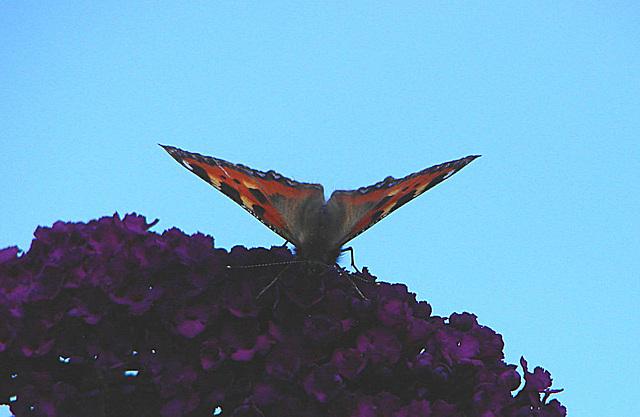 20050812 0018DSCw Kleiner Fuchs (Aglais urticae), Schmetterlingsstrauch (Buddleja davidii 'Royal Red')