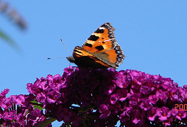 20050812 0017DSCw Kleiner Fuchs (Aglais urticae), Schmetterlingsstrauch (Buddleja davidii 'Royal Red')
