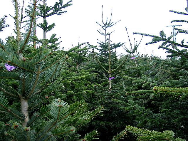 lauter Weihnachtsbäume - abres de noel