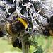 20060723 0595DSCw Gartenhummel (Bombus hortorum), Kugeldistel (Echinops)