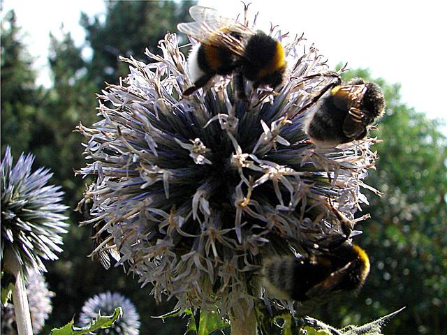20060723 0592DSCw Gartenhummel (Bombus hortorum), Kugeldistel (Echinops)
