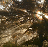 Chêne au soleil levant