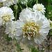 20090626 04148DSCw [D~LIP] Gefüllte Römische Kamille (Chamaemelum nobile 'Plenum'), Bad Salzuflen