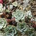 20090626 04157DSCw [D~LIP] Fetthenne (Sedum spathulifolium 'Cape Blanco'), Bad Salzuflen