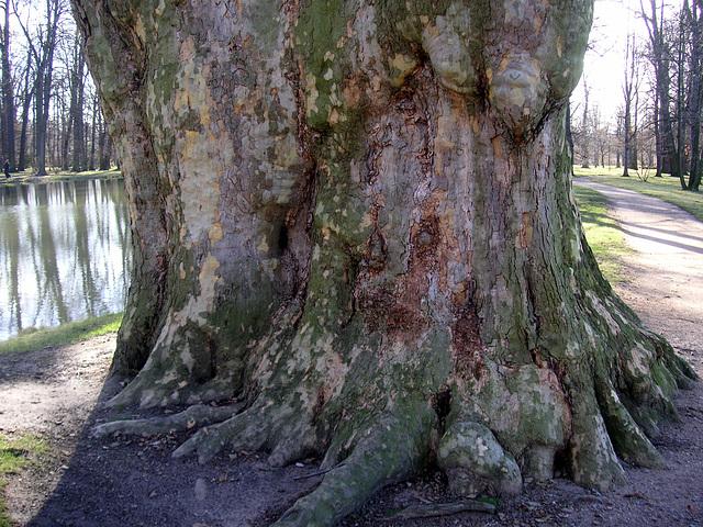 Alter Baum im Schloßpark Pillnitz