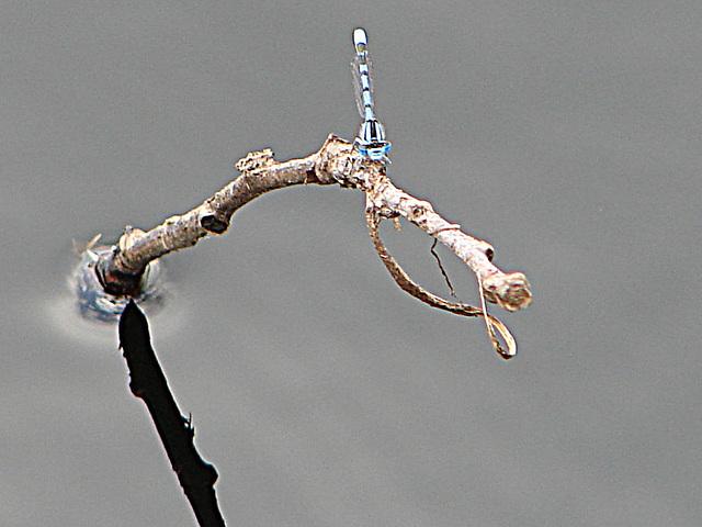20090625 03929DSCw [D-MI] Schlanklibelle (Enallagma cyathigerum)