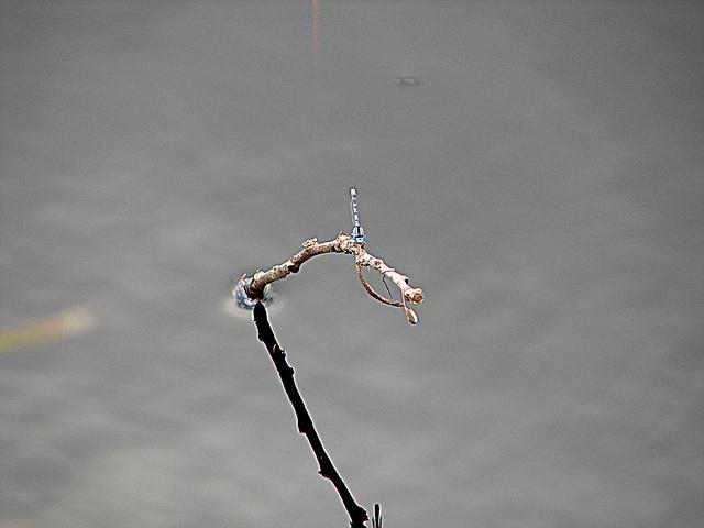 20090625 03931DSCw [D-MI] Schlanklibelle (Enallagma cyathigerum)