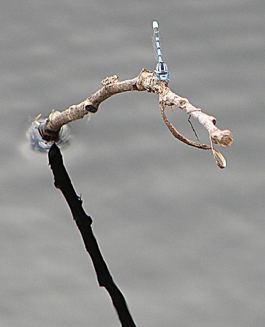 20090625 03933DSCw [D-MI] Schlanklibelle (Enallagma cyathigerum)