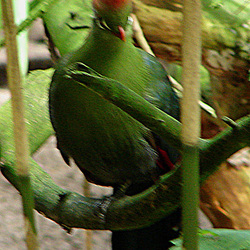 20060901 0661DSCw [D-DU] Rothaubenturako (Tauraco erythrolophus), Zoo Duisburg