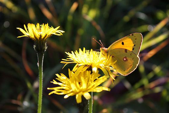 Schmetterling im Herbstlicht