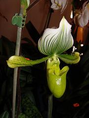 Orchidée exotique (Paphiopedilum)