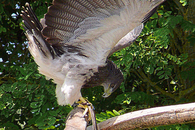 Rapace Beauval