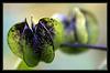 Nicandra Physaloides