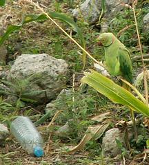 Mauritianischer Papagei