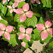 20060531 0337DSCw Japanischer Blumenhartriegel (Cornus kousa 'Satomi')