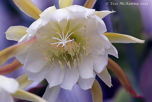 Epiphyllum oxypetalum Explore  224 copy