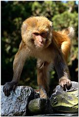Affe (wildlife)
