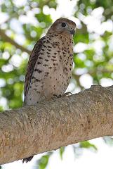 Mauritianischer Falke