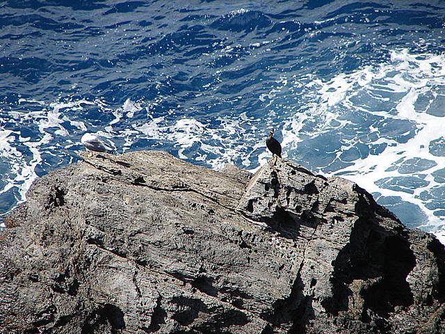 20050920 186DSCw [R~I] Mittelmeermöwe (Larus michahellis), Kormoran (Phalacrocorax carbo), Cinque Terre [Ligurien]