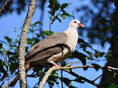 Mauritianische Taube
