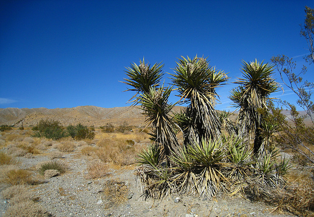 Yuccas Near The Nude Bowl (4750)