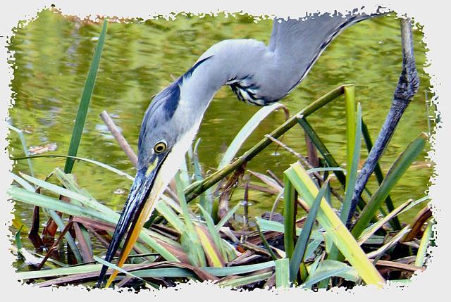 Heron Tuileries