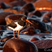 Ostrero euroasiático (Haematopus ostrolegus)