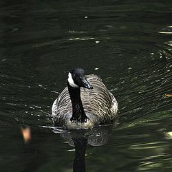 20090919 0721Aw [D-HF] Kanadagans (Branta canadensis), Herford