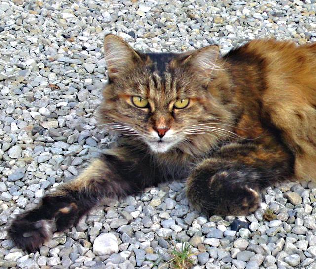 chat sauvage de Marcieux