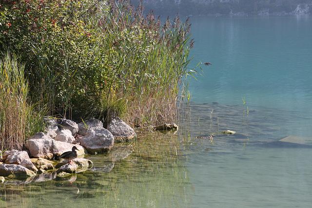 le canard sur le lac