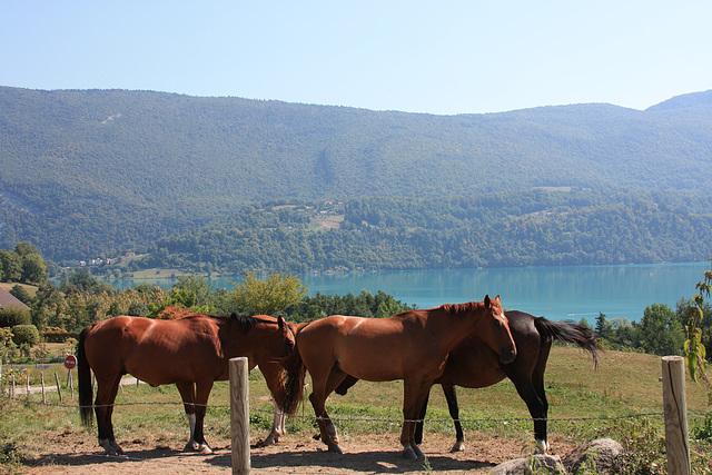 chevaux sur les bords  du lac
