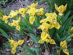 20090415 0012DSCw Zwergschwertlilie (Iris Barbata-Nana (Iris pumila))