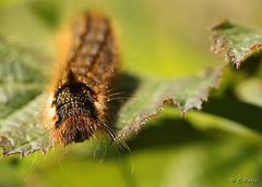 Drinker Moth Caterpillar Sunning