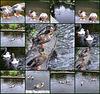 Les canards de Pont Aven