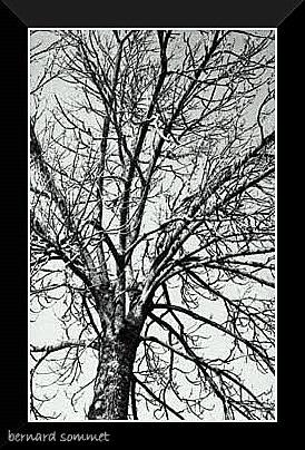 Frêne d'hiver