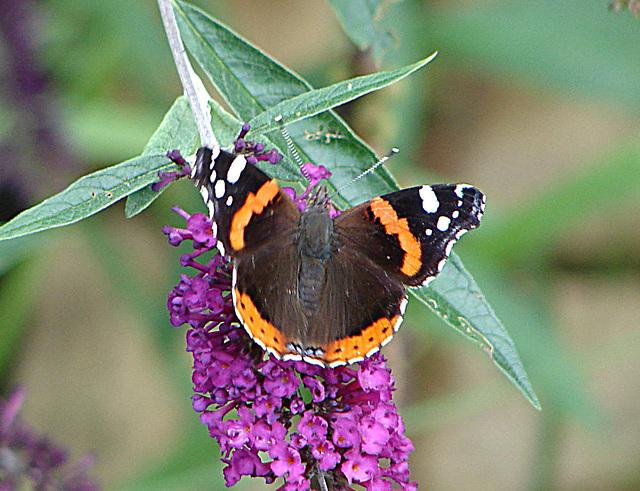 20050815 0041DSCw Admiral (Vanessa atalanta), Schmetterlingsstrauch (Buddleja davidii 'Royal Red')