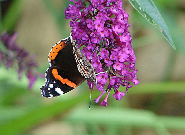20050815 0046DSCw Admiral (Vanessa atalanta), Schmetterlingsstrauch (Buddleja davidii 'Royal Red')
