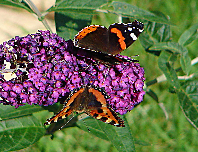20050815 0042DSCw Admiral (Vanessa atalanta), Kleiner Fuchs (Aglais utticae), Schmetterlingsstrauch (Buddleja davidii 'Royal Red')