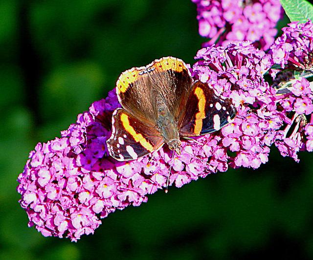 20050815 0043DSCw Admiral (Vanessa atalanta), Schmetterlingsstrauch (Buddleja davidii 'Royal Red')