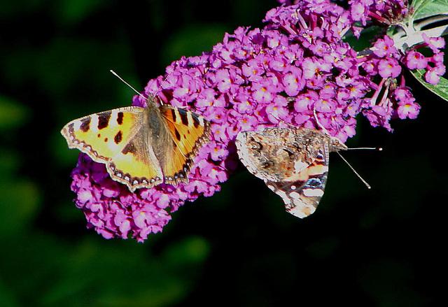 20050815 0044DSCw Kleiner Fuchs (Aglais urticae), Admiral (Vanessa atalanta), Schmetterlingsstrauch (Buddleja davidii 'Royal Red')