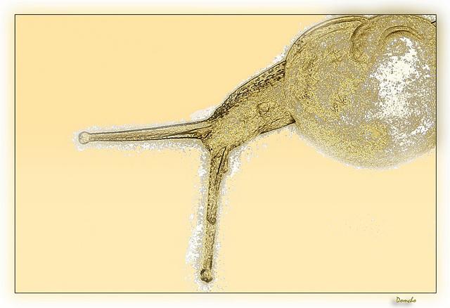 luma d'or