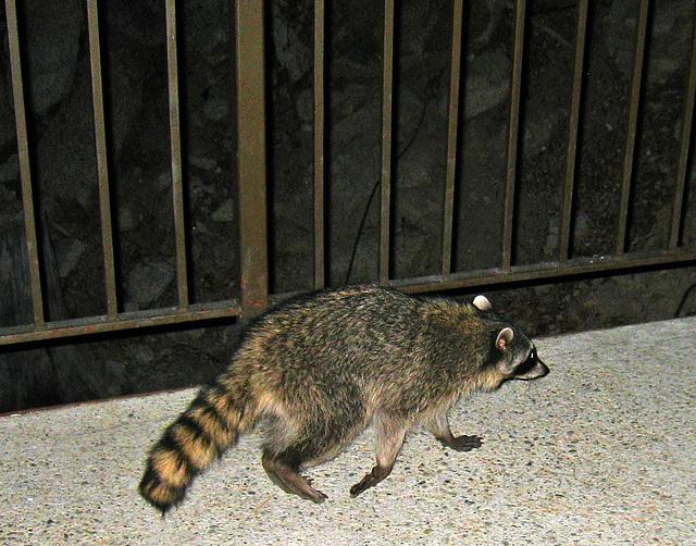 Raccoon (4564)