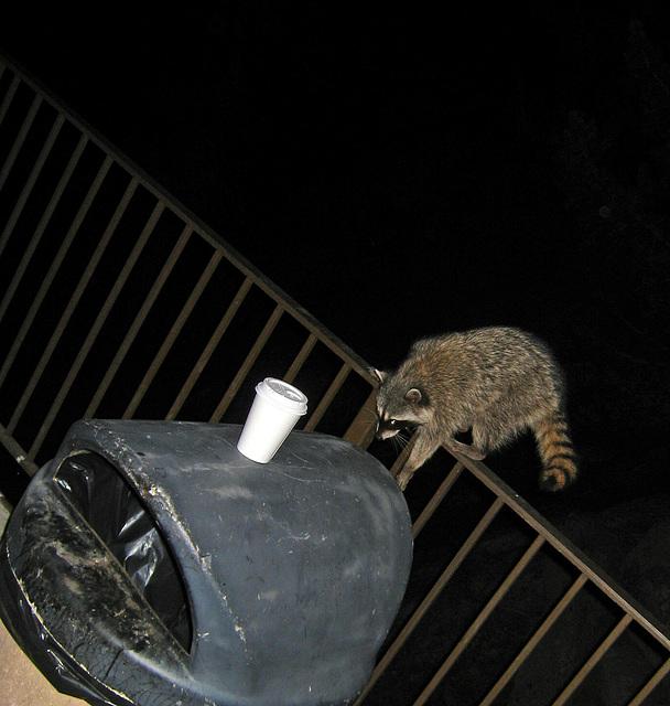 Raccoon (4567)