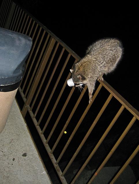 Raccoon (4568)