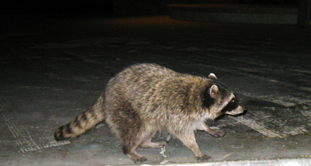 Raccoon (4574)