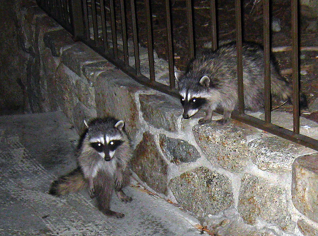 Raccoons (4572)
