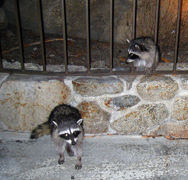 Raccoons (4573)