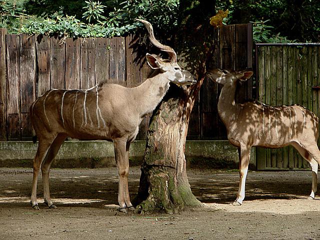 20060901 0674DSCw [D-DU] Großer Kudu (tragelaphus strepsiceros)