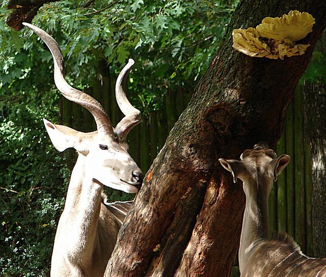 20060901 0673DSCw [D-DU] Großer Kudu (Tragelaphus strepsiceros) + Pilz