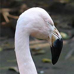20051013 052DSCw [D-HM] Andenflamingo (Phoenicopterus andinus), Bad Pyrmont